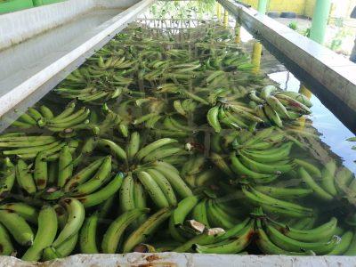 Salen para NY los plátanos para romper el record del mangú